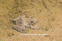 02434-002.11 Cricket Frog (Acris crepitans) in wetland, Ballard Nature Center, Effingham Co.  IL