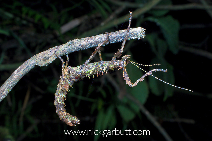 Giant Stick Insect (unknown species) in lowland rainforest. Marojejy National Park, north east Madagascar.
