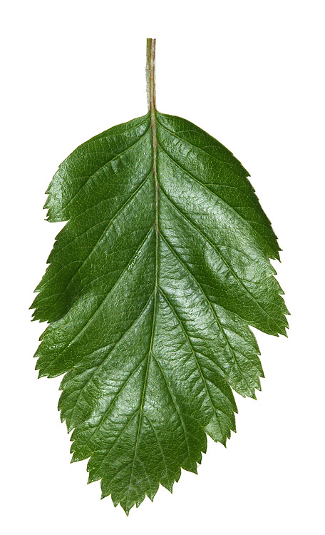Swedish Whitebeam Sorbus intermedia (Rosaceae) HEIGHT to 15m. Medium-sized tree. LEAVES To 12cm long, oval and deeply lobed. Glossy green above, yellowish and downy below. REPRODUCTIVE PARTS Fruits oval, to 1.5cm long, scarlet with many lenticels. STATUS AND DISTRIBUTION Native of Scandinavia; tolerates air pollution so popular here.