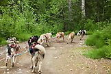 USA, Alaska, Talkeetna, Iditarod musher Randy Cummins takes his slead dogs for a trail run in the Summertime, Huskytown sled dog tours