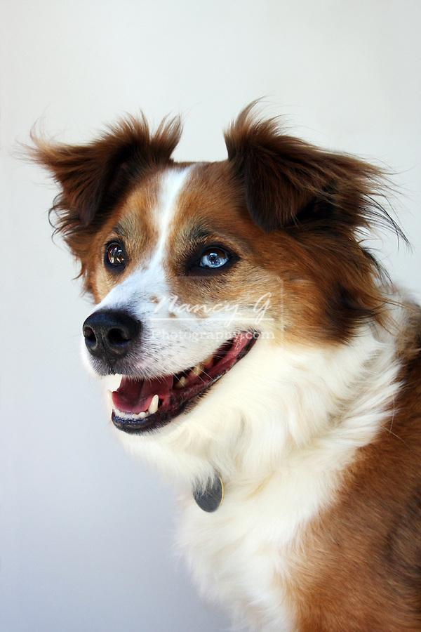 Australian Shepherd and Border Collie mix dog breed
