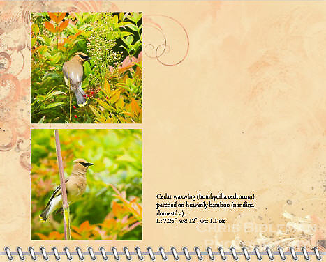 "July of the 2014 Birds of a Feather Calendar. Photo is called ""Cedar Waxwing on Bamboo stalk"" and ""Cedar Waxwing in Heavenly Bamboo"".  A cedar waxwing (bombycilla cedrorum) is perched on bamboo stalk with a heavenly bamboo (nandina domestica) in background in full colors of red, orange, yellow and green."