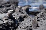 Puerto Ayora, Santa Cruz Island, Galapagos, Ecuador; three Marine Iguanas (Amblyrhynchus cristatus) on the volcanic rocks at the water's edge of the beach at the Charles Darwin Research Station , Copyright © Matthew Meier, matthewmeierphoto.com All Rights Reserved