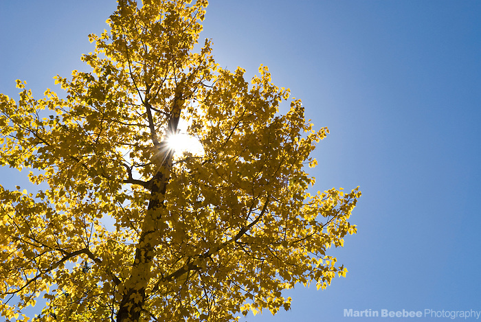 Black cottonwood (Populus trichocarpa), fall, California