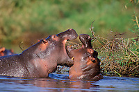 Common Hippopotamus (Hippopotamus amphibius) two bulls displaying dominance behavior in hippo pool, Serengeti National Park, Tanzania.