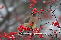 01415-03411 Cedar Waxwing (Bombycilla cedrorum) eating berry in Common Winterberry bush (Ilex verticillata) in winter, Marion Co. IL