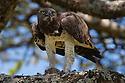 Tanzania, Ngorongoro Conservation Area, Ndutu, Martial eagle feeding on guinea fowl chick