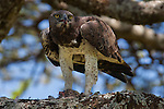 Tanzania, Ngorongoro Conservation Area, Ndutu, Martial eagle feeding on guinea fowl chick