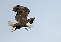 Birds of prey (raptors) including eagles,osprey,hawks,falcons and owls