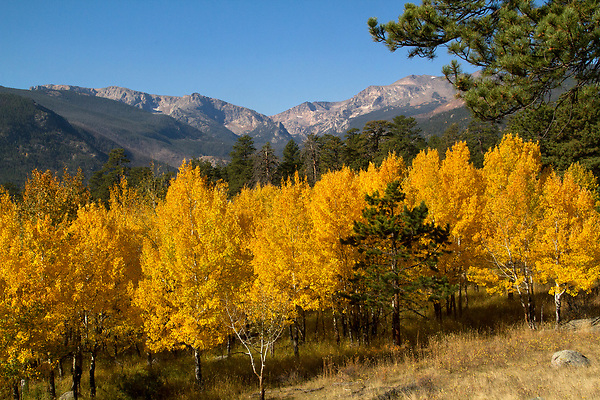 Autumn aspen trees and Spruce canyon, RMNP.