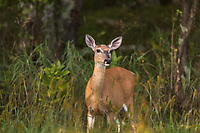 White-tailed doe stops at the edge of a northen Wisconsin forest.