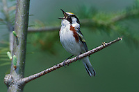 Chestnut-sided Warbler - Dendroica pensylvanica - Adult male breeding