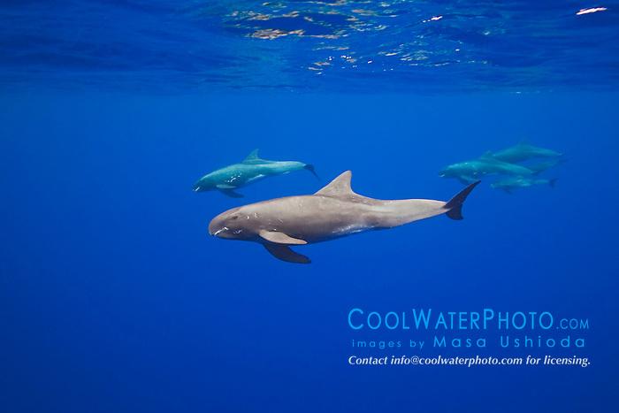 pygmy killer whales, Feresa attenuata, Kona Coast, Big Island, Hawaii, Pacific Ocean