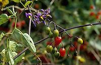 Bittersüßer Nachtschatten, Früchte, Solanum dulcamara, Bittersweet Nightshade, Deadly Nightshade