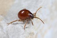 Kugelkäfer, Buckelkäfer, Gibbium psylloides, Smooth spider beetle, hump beetle, shiny spider beetle, Nagekäfer, Diebskäfer, Ptinidae, Spider beetles