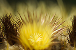 A close-up of a Golden Barrel Cactus flower at the Huntington Desert Garden in San Marino, California.
