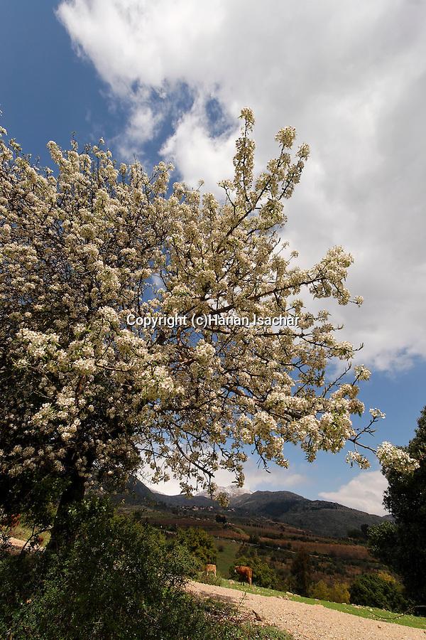 The Golan Heights, Syrian Pear (Pyrus Syriaca) in Nabi Hazuri