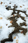 Tunnels pf Star-nosed moles, Condylura cristata,  exposed by melting snow in spring