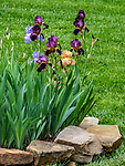 Iris grows in the spring.