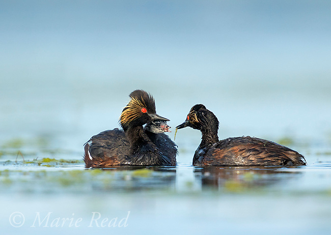 Eared Grebes (Podiceps nigricollis), adult feeding a damselfly to chick riding on the other's back, Bowdoin National Wildlife Refuge, Montana, USA