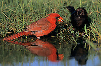 Northern Cardinal, Cardinalis cardinalis, male bathing with male Bronzed Cowbird, Lake Corpus Christi, Texas, USA, May 2003
