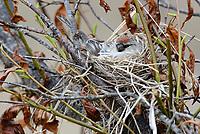 Common Redpoll (Carduelis flammea) incubating on nest.  Yukon Delta National Wildlife Refuge, Alaska. June.