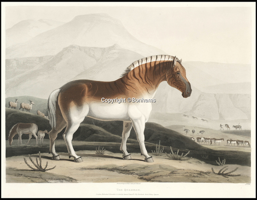 BNPS.co.uk (01202 558833)<br /> Pic: Bonhams/BNPS<br /> <br /> The Quahkah, an extinct subspecies of zebra.<br /> <br /> A 200-year-old volume of art work that gave Briton's their first look at the country of South Africa has surfaced. <br /> <br /> Natural history painter Samuel Daniell became one of the first to depict the African country while on an expedition there at the turn of the 19th century. <br /> <br /> His raw, almost photographic, paintings were shipped back to the UK to offer westerners a before unseen window into South Africa. <br /> <br /> The stunning works, which were done before the dawn of photography, picture wild animals and native peoples against the rugged backdrop of the the country's Atlantic coast. <br /> <br /> This first edition copy has been in private ownership in South Africa for the past century but will be sold on February 1 by Bonhams auctioneers. <br /> <br /> It is thought to be worth up to £25,000.