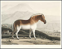 BNPS.co.uk (01202 558833)<br /> Pic: Bonhams/BNPS<br /> <br /> The Quahkah, an extinct subspecies of zebra.<br /> <br /> A 200-year-old volume of art work that gave Briton's their first look at the country of South Africa has surfaced. <br /> <br /> Natural history painter Samuel Daniell became one of the first to depict the African country while on an expedition there at the turn of the 19th century. <br /> <br /> His raw, almost photographic, paintings were shipped back to the UK to offer westerners a before unseen window into South Africa. <br /> <br /> The stunning works, which were done before the dawn of photography, picture wild animals and native peoples against the rugged backdrop of the the country's Atlantic coast. <br /> <br /> This first edition copy has been in private ownership in South Africa for the past century but will be sold on February 1 by Bonhams auctioneers. <br /> <br /> It is thought to be worth up to &pound;25,000.