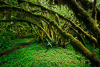 A path winds through a primeval world where lichens, mosses and other epiphytes coat the branches of vine maples that arch over carpets of wood sorrel. The forest envelopes Sam's River Loop Trail, a route traveled more by elk than by humans in Olympic National Park. <br /> Temperate rain forests in the valley of Queets, as well as the Quinault and Hoh, receive 12 feet of rain a year.