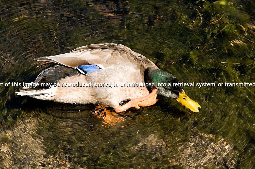 MAle MAllard Duck Scratching his head