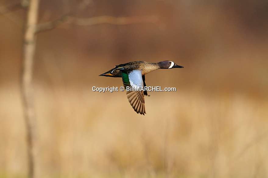 00315-062.03 Blue-winged Teal Duck male in flight against a marsh background.  Hunt, action, fly, color.