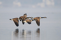 Group of adult Canada Geese (Branta canadensis) in flight. Tompkins County, New York. March.