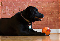 BNPS.co.uk (01202 558833)<br /> Pic: PlayDate/BNPS<br /> <br /> The ultimate gadget for lazy pet owners has been created - a mobile phone controlled smart ball.<br /> <br /> The PlayDate lets dog and cat owners play with their pets from anywhere, so you can even keep your dog or cat entertained while you are at work.<br /> <br /> Or, if you don't feel like moving from the sofa, you can control the smart ball and let your pet chase it around the house.<br /> <br /> Since the smart ball has an HD camera, you can watch your pooch or furry friend's every move on your phone.