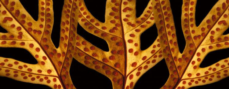 The underside of lauae leafs
