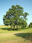 Oak tree in field Brantham Suffolk England