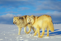 Arctic wolves (Canis lupus)