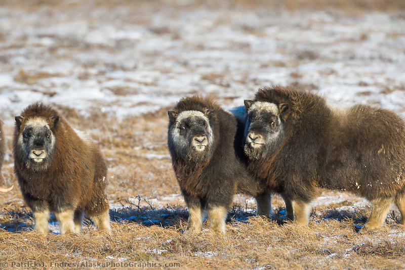 Musk Ox calves on Alaska's snowy Arctic Coastal Plain