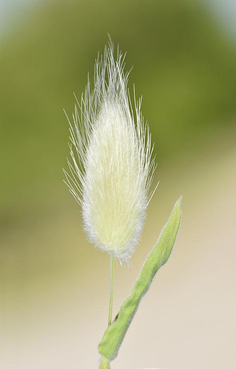 Hare's-tail Grass - Lagurus ovatus