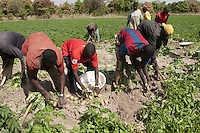 The potato seeds comes from Europe, since it is still impossible to carry out selection of seed in Mali due to the lack of cold-storage facilities