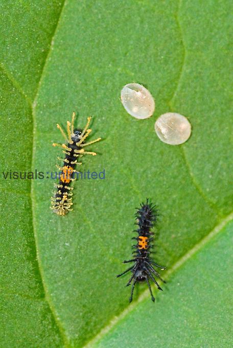 Royal Moth newly hatched caterpillars (Citheronia aroa). Ecuador.