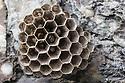 Nest of European Paper Wasp {Polistes gallicus} attached to rock face. Nordtirol, Austrian Alps. June.