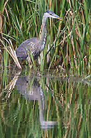 Great Blue Heron wading along some reeds