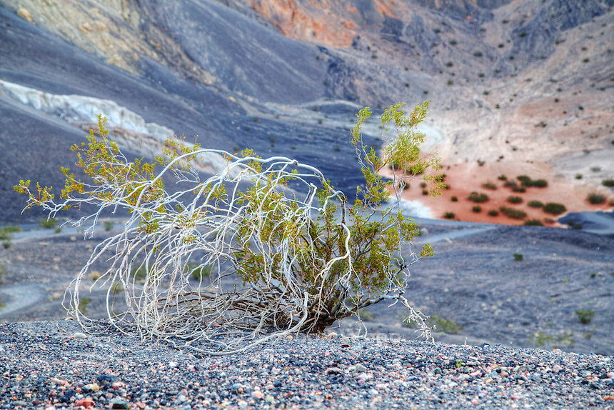 Creosote Bush on the Edge of Ubehebe Crater