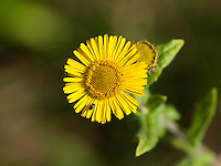 Common Fleabane {Pulicaria dysenterica} with a Pollen Beetle {Meligethes aeneus}