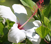 Stock image of beautiful big white hibiscus flower.