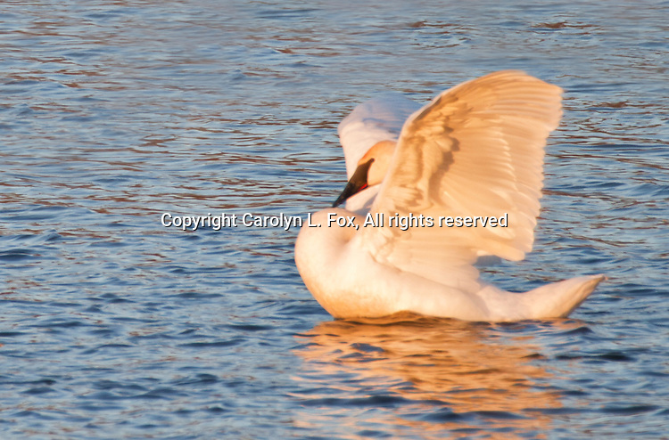Trumpeter swan flapps wings as it swims at Lake Remembrance in Blue Springs, Missouri.
