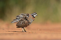Northern Bobwhite (Colinus virginianus), male shaking off dust, Rio Grande Valley, South Texas, Texas, USA