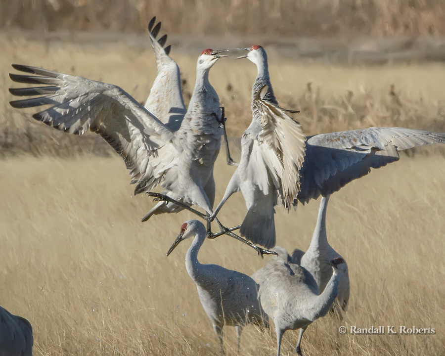 Sandhill Crane dance at Bosque del Apache National Wildlife Refuge, New Mexico