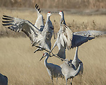Sandhill Crane dance at Bosque del Apache National Wildlife Refuge, New Mexico