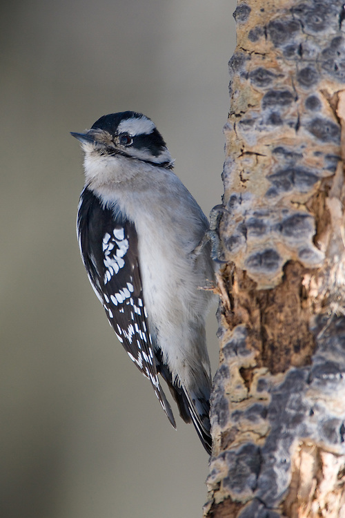 Female Downey Woodpecker perched on a tree